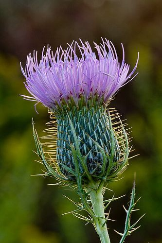 Thistle | Flowers, Plants, Beautiful flowers
