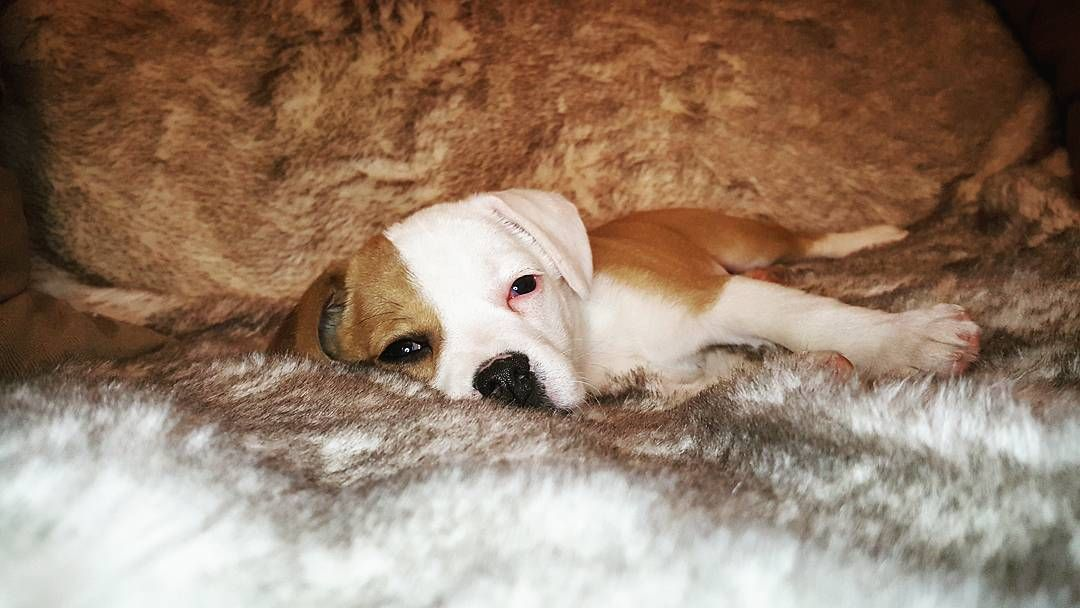 Aww Morning Loui Cute Beabull Puppy Puppiesofinstagram