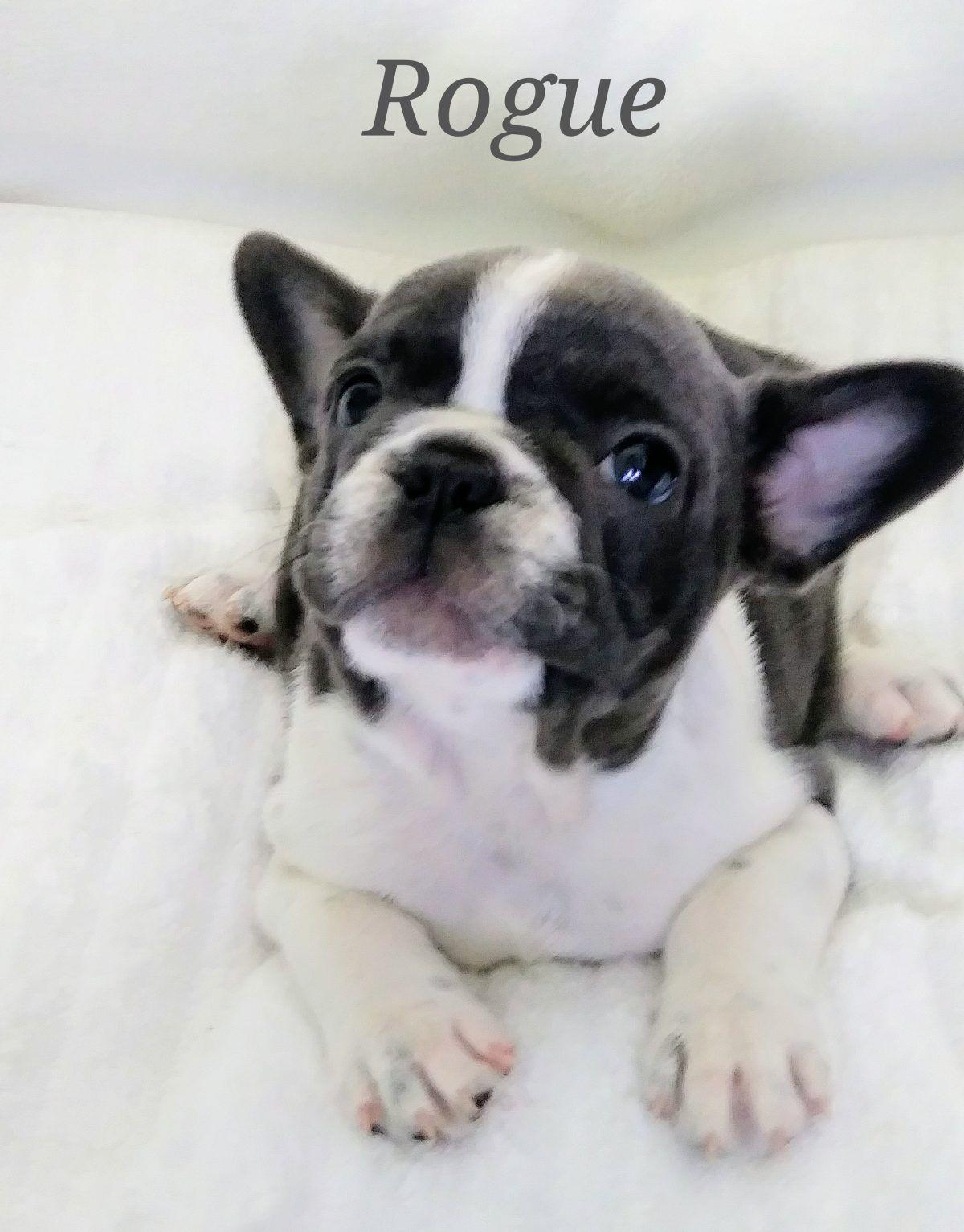 Rogue a female AKC Piebald French Bulldog puppy born in