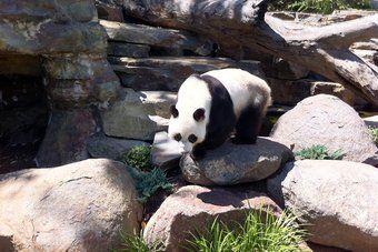 Adelaide Zoo.  This is Wang Wang