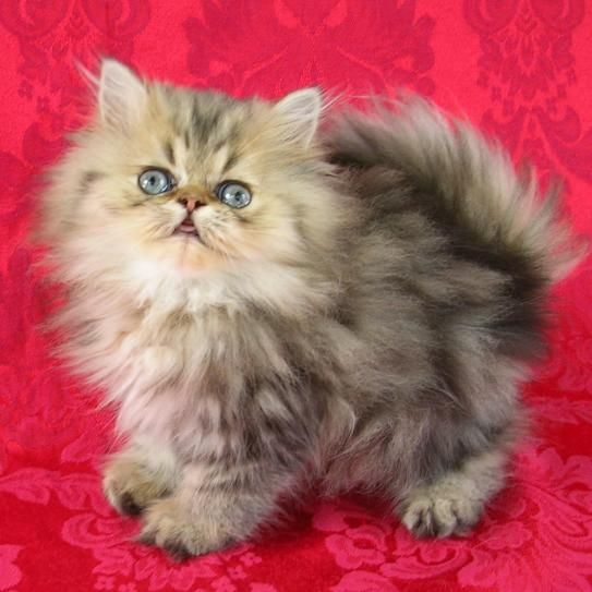 Silverngold Snickers Teacup Kitten Angora Cats Cute Teacup Puppies