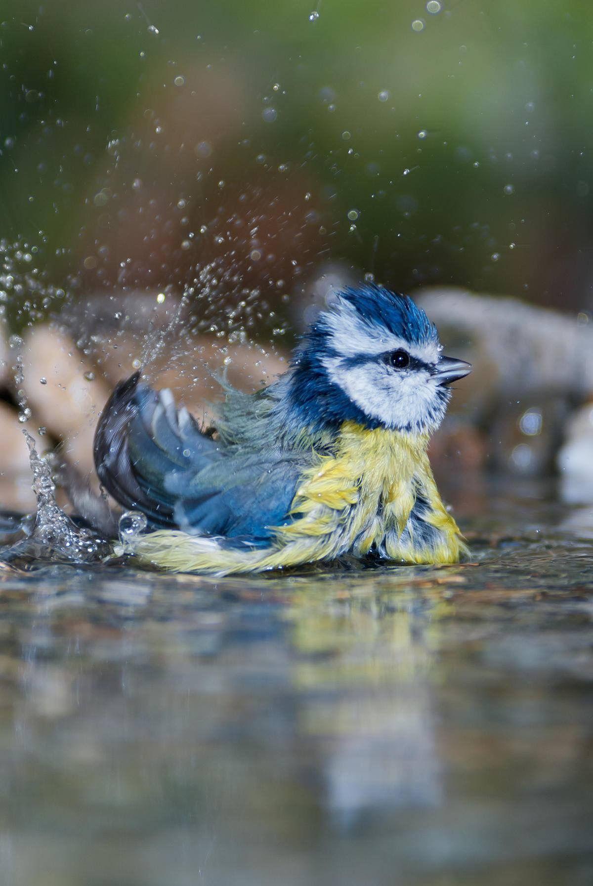 Bird bath shake a tail feather vogels schattige