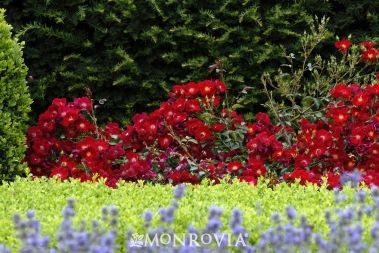 Front Flowerbed Ground Cover Roses Planting Roses Rose Plant Care