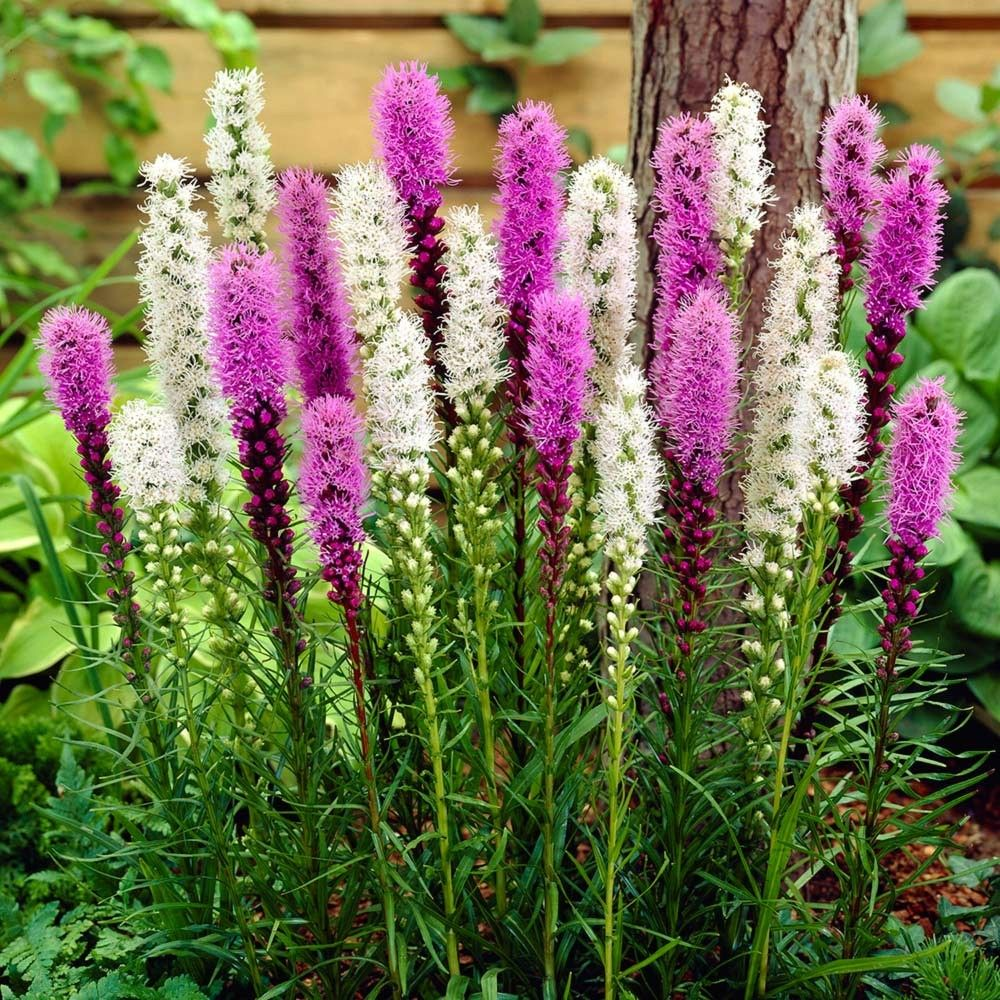 12 x Liatris Spicata Alba Perennial Garden Plant BULBS WHITE BLAZING STAR