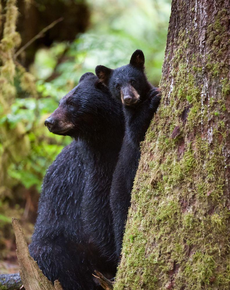 Links 6/9/15 | naked capitalism |Funny Black Bear Family