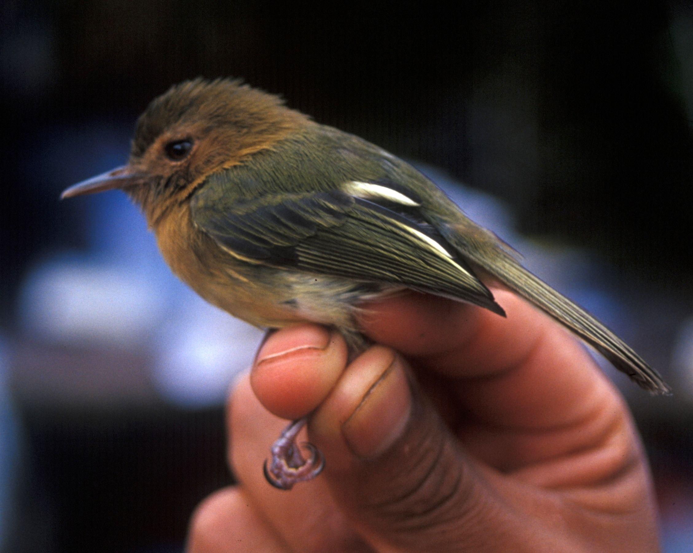 4050. Cinnamon-breasted Tody-tyrant (Hemitriccus cinnamomeipectus) | Ecuador, Peru