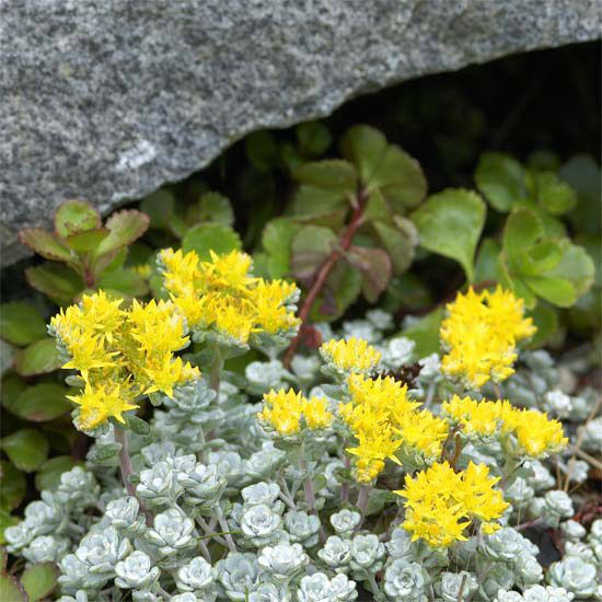 Sedum spathulifolium     A great ground cover, this sedum grows fast to smother out weeds. It offers silvery foliage and yellow flowers in summer.    Name: Sedum spathulifolium    Growing Conditions: Full sun or part shade and well-drained soil    Size: to 4 inches tall    Zones: 5-9    Native to North America: Yes    Why We Love It: For its fast growth and silvery foliage.