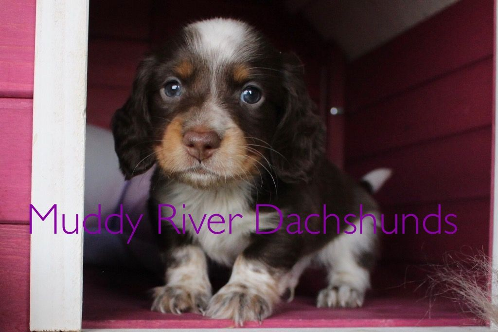 Muddy River Dachshunds Puppies For Sale In Texas Dachshund Puppies Dachshund Puppies For Sale Dachshund