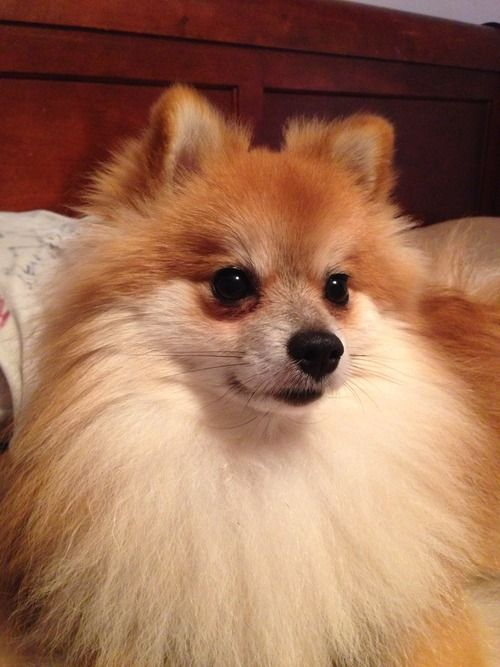 The Color Looks Soo Cute Looks Like A Baby Fox Pomeranian Puppies For Free Pomeranian Puppy Puppies