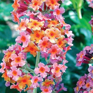 Rainbow Butterfly Bush Product Information: Light: Full Sun To Partial Shade  Height: 6