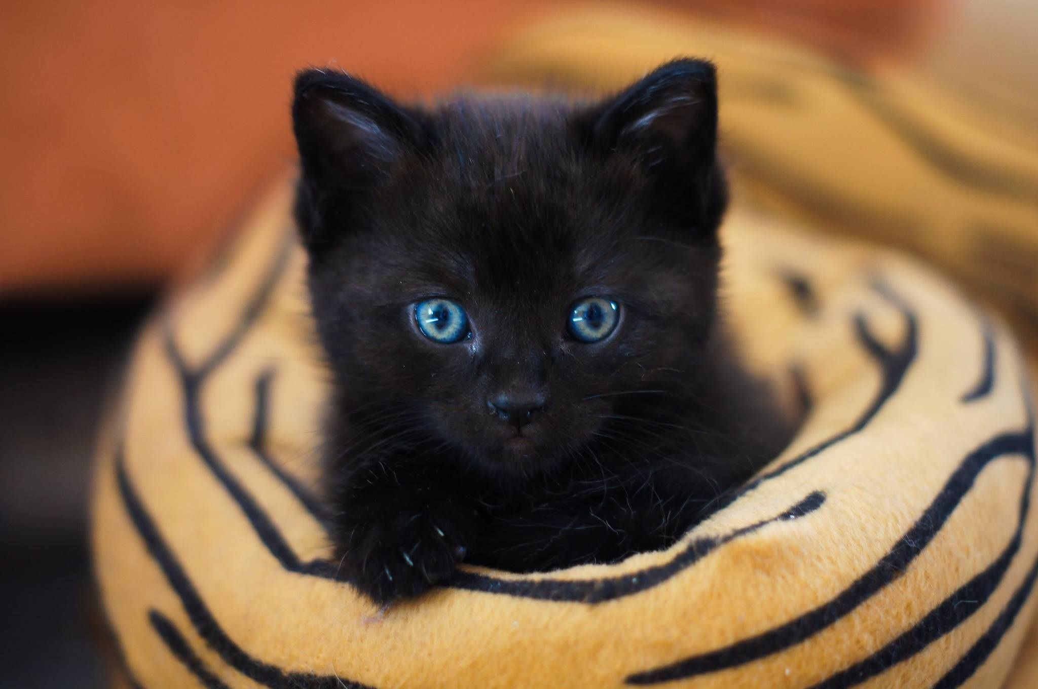 Blue Eyed Kitten Black Cat Breeds Names For Black Cats Black Cat Pictures