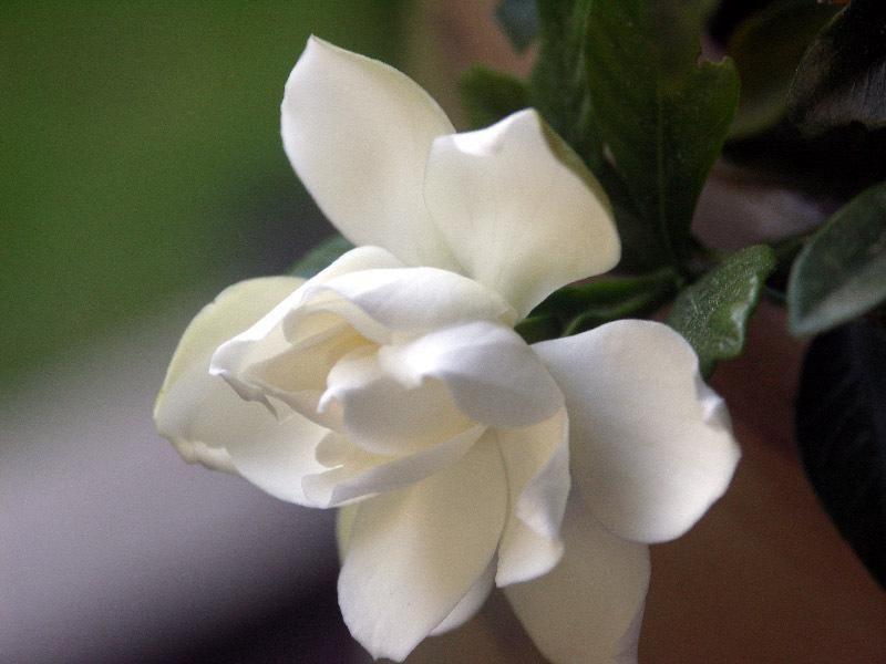 Gardenia, Cape Jasmine, Gandharaj U0027August Beautyu0027 (Gardenia Jasminoides)  Http: