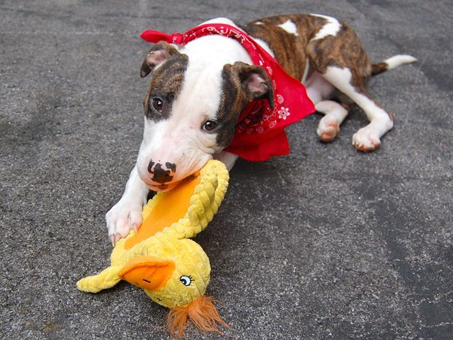 SAFE --- SUPER URGENT - 7/24/14  Manhattan Center    My name is MAX. My Animal ID # is A1006766.  I am a male br brindle and white pit bull mix. The shelter thinks I am about 1 YEAR    I came in the shelter as a SEIZED on 07/15/2014 from NY 10463, owner surrender reason stated was OWN ARREST.  https://www.facebook.com/photo.php?fbid=841821735830707&set=a.617938651552351.1073741868.152876678058553&type=3&permPage=1