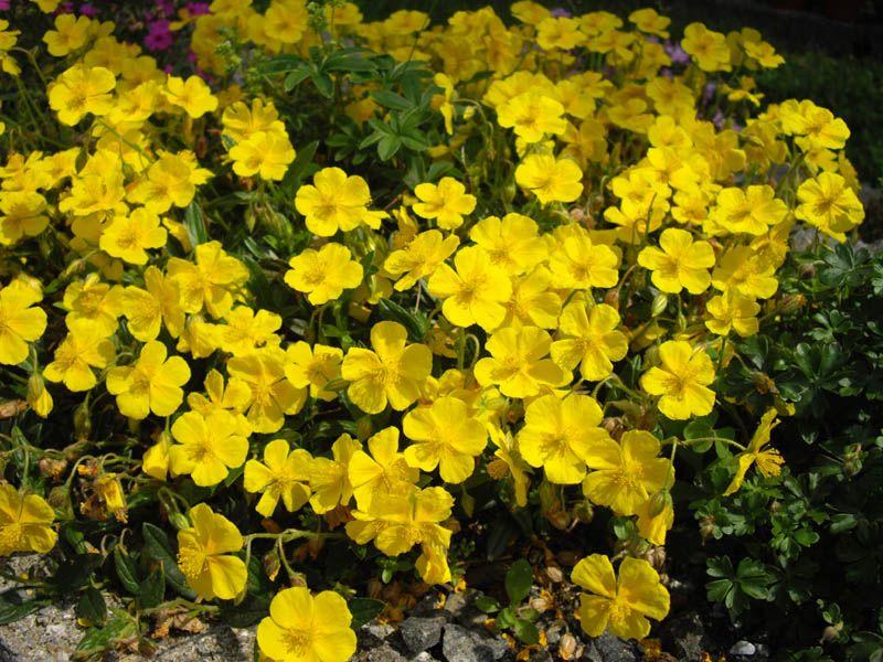 File:Helianthemum nummularium ssp grandiflorum 2.JPG