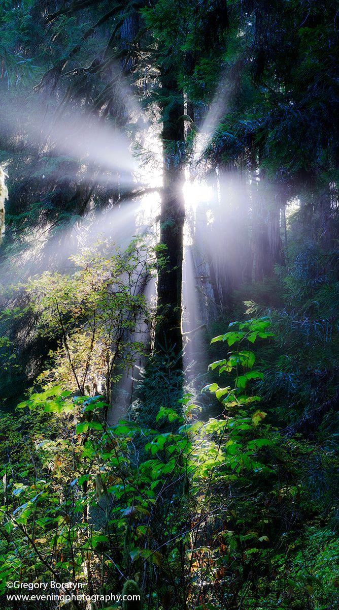 Sunburst, Redwood State and National Park, near Eureka, Northern CA.