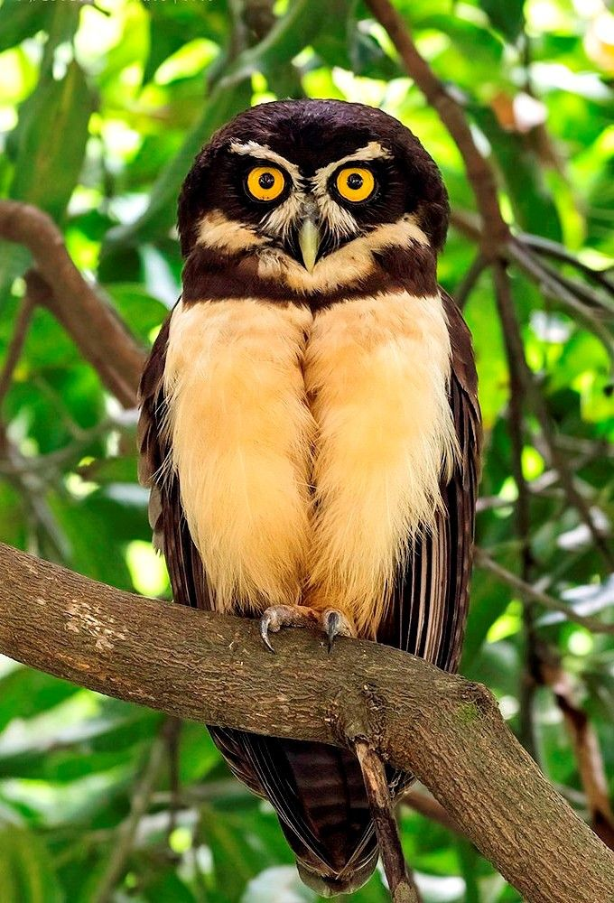Spectacled Owl Pulsatrix Perspicillata Is A Large Tropical Owl Native To The Neotropics It Is A Resident Breeder In Fo Beautiful Birds Owl Animals Beautiful