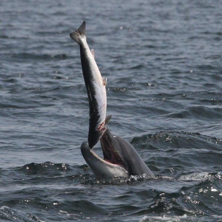 No se juega con la comida, pero esta cría de delfín ha decidido hacerlo con un salmón, Moray Firth, Escocia (Peter Jolly, 2016) (1)