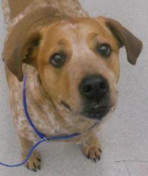 Gabby Is An Adoptable Labrador Retriever Dog In Spokane Wa