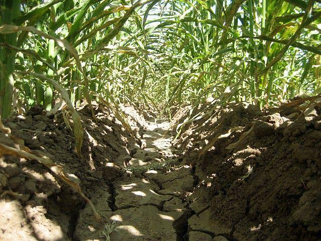corn row csa farm How to dry basil, Garden, Plants
