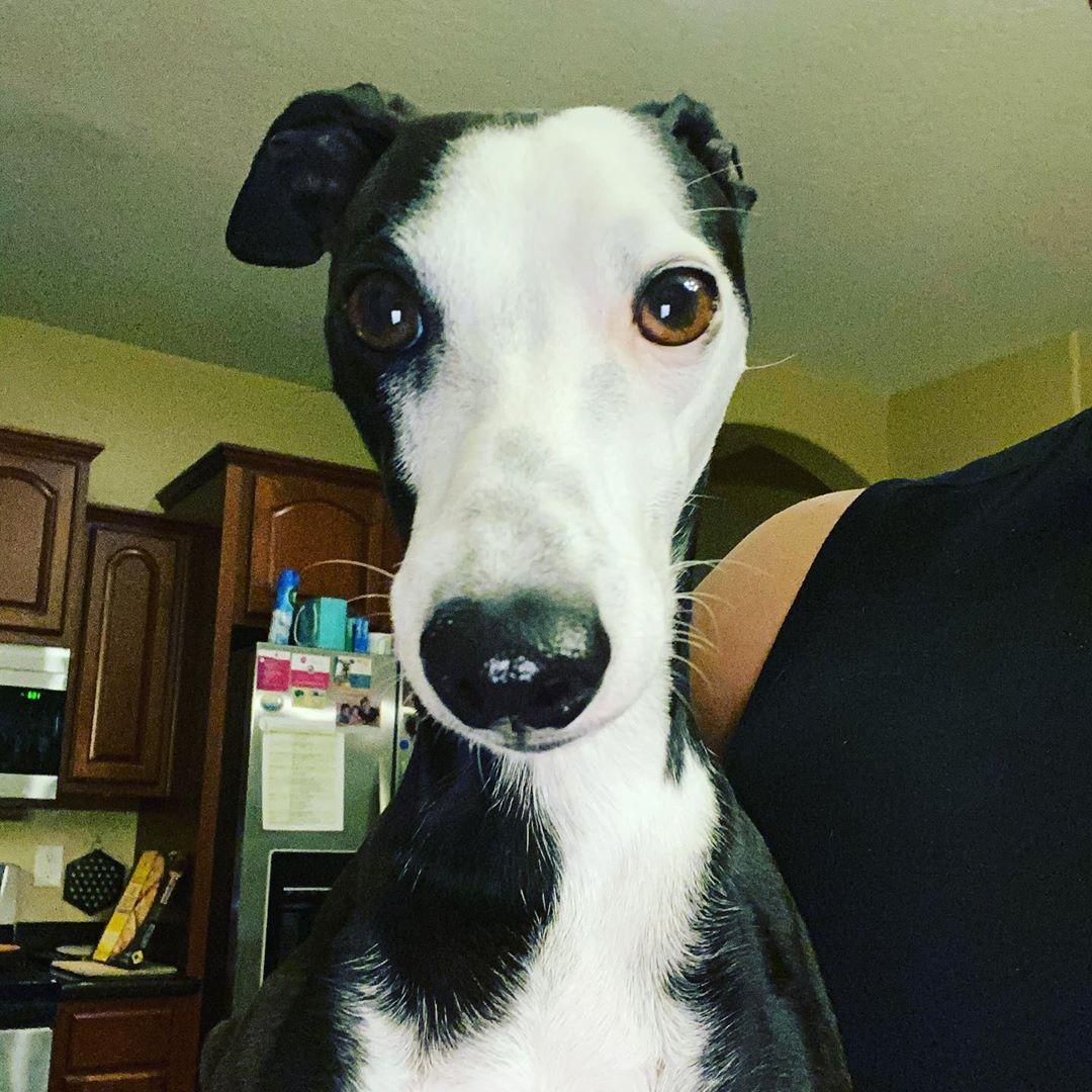 Hello Wednesday! #italiangreyhoundsofinstagram #italiangreyhound #iggy #dogsofinstagram...
