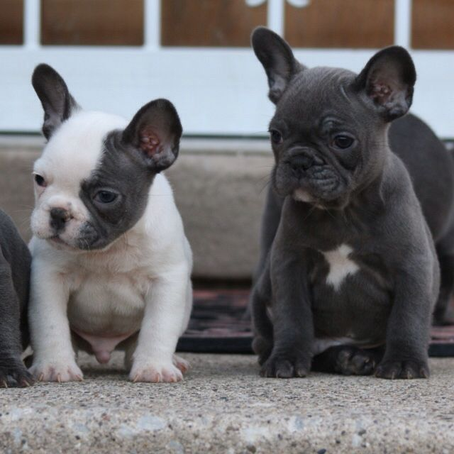 These 2 Male Puppies Are Available Akc Abkc Registered They Are