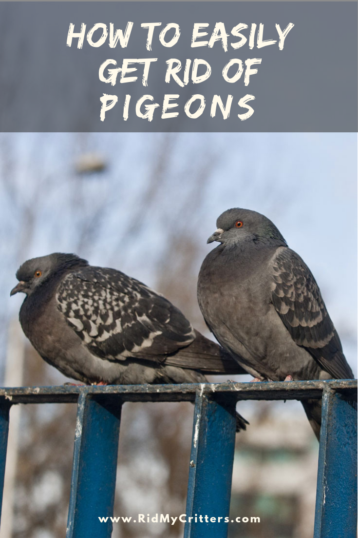 How to EASILY Get Rid of Pigeons (from the Roof, Balcony