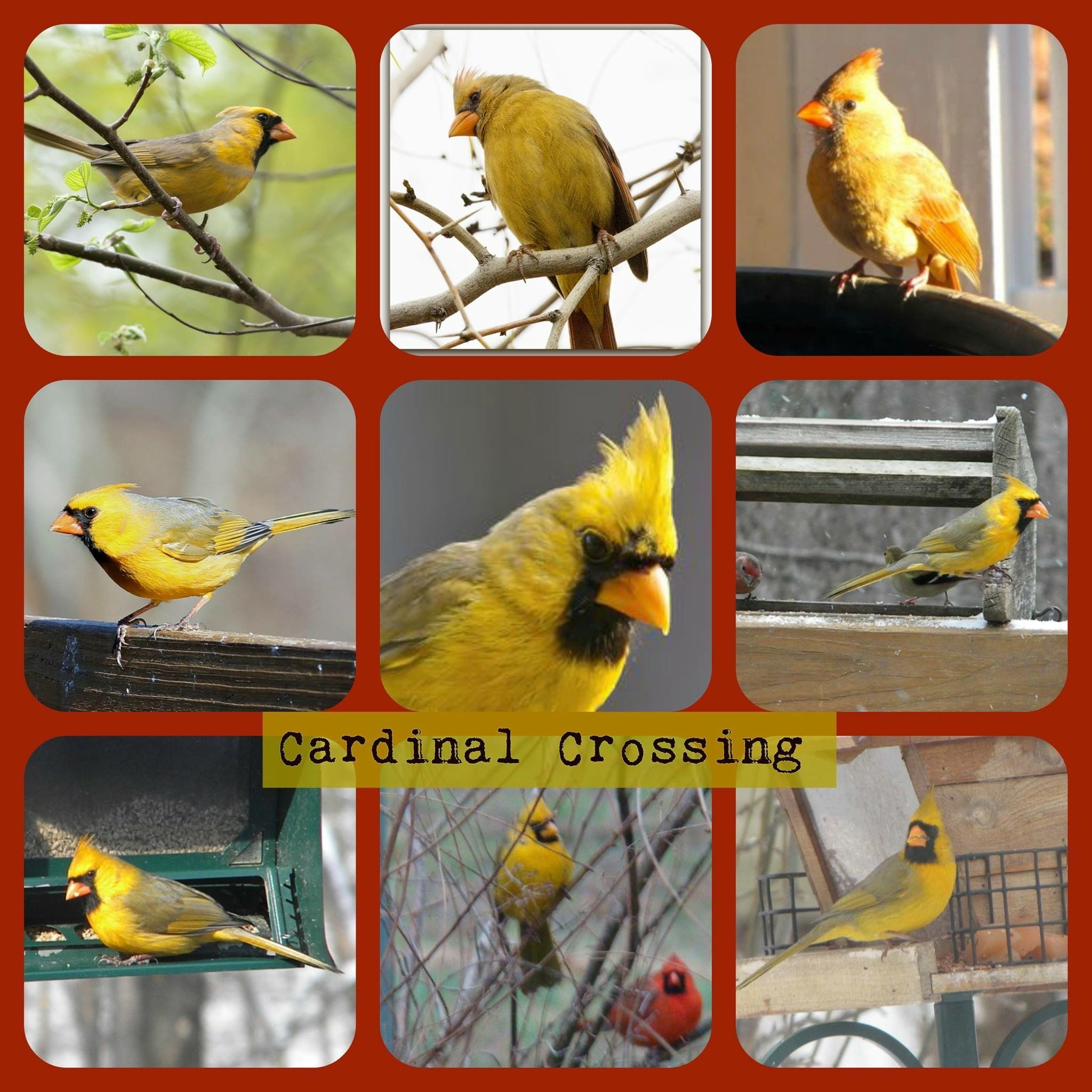 Backyards Birds Pretty Pictures: Yellow Cardinals,they Are Rare !