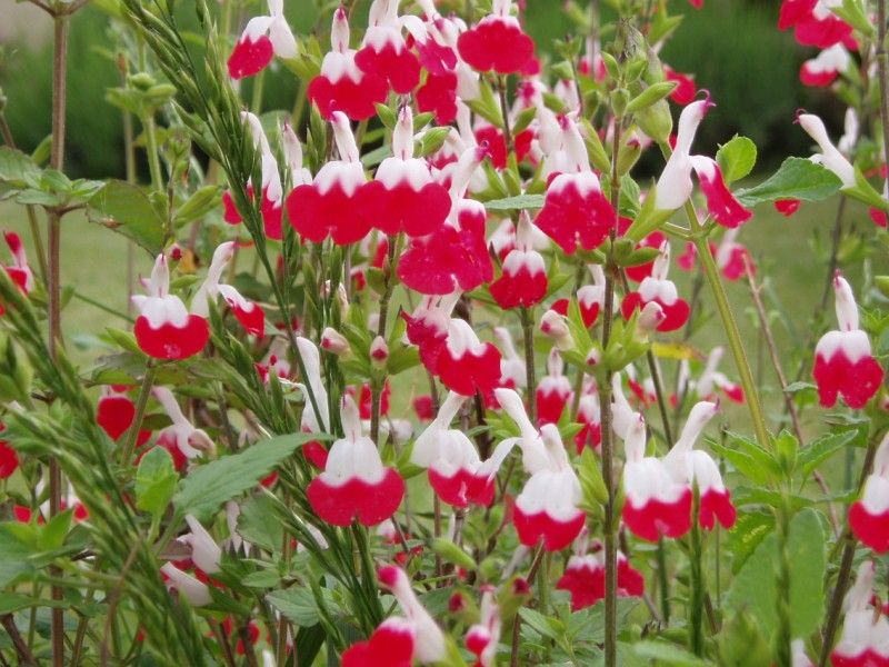 salvia microphylla 39 hot lips 39 sage my husband fell in. Black Bedroom Furniture Sets. Home Design Ideas