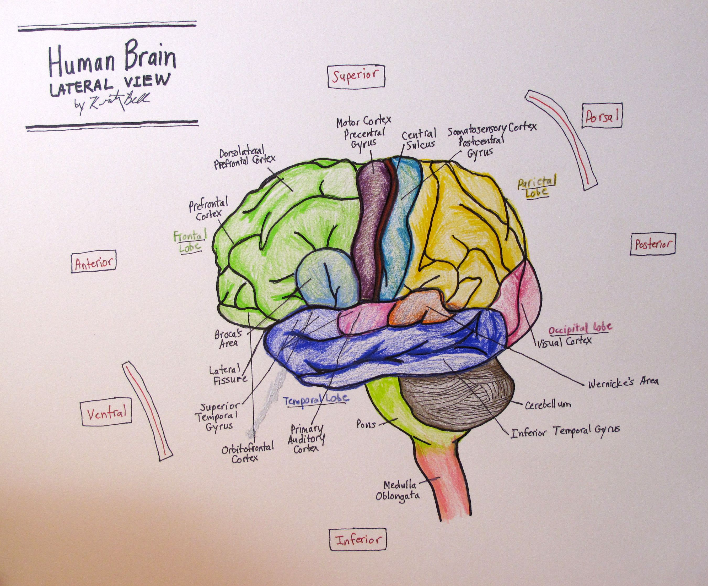 Side View Of Brain Labeled Elegant Lateral Human Brain 4th Neuro Drawing Brain Diagram Brain Drawing Brain Pictures [ 2237 x 2700 Pixel ]