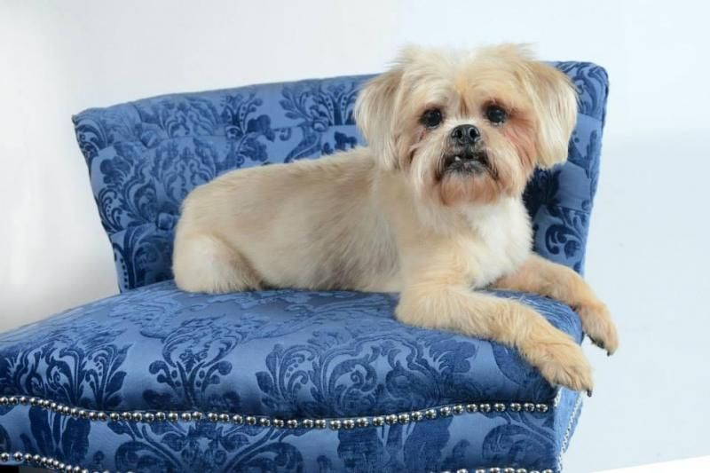 Adopt Portland Cartwright On Lonestar Shih Tzu And Lhasa Apso