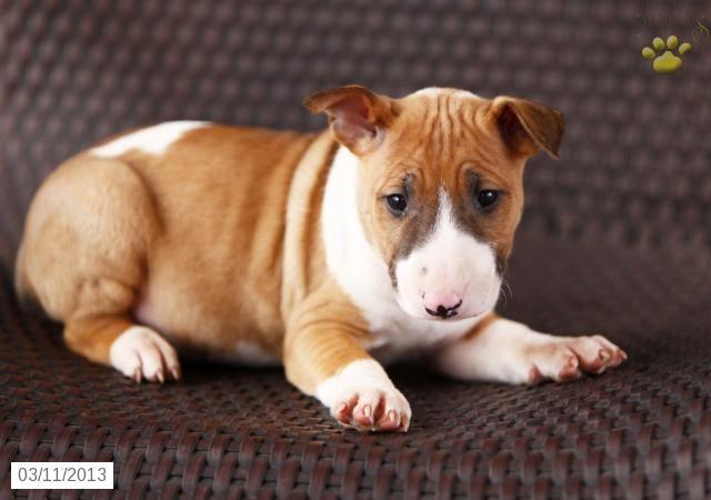 Paula Bull Terrier Puppy For Sale In East Earl Pa Bull