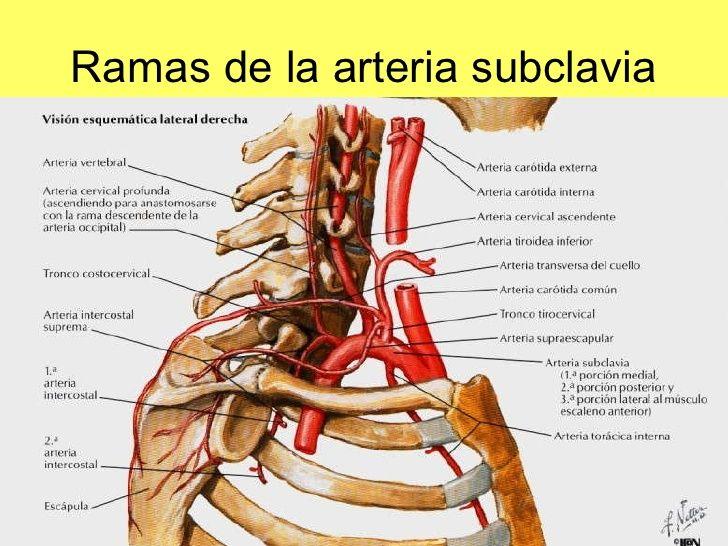 en qué sistema del cuerpo está la arteria carótida