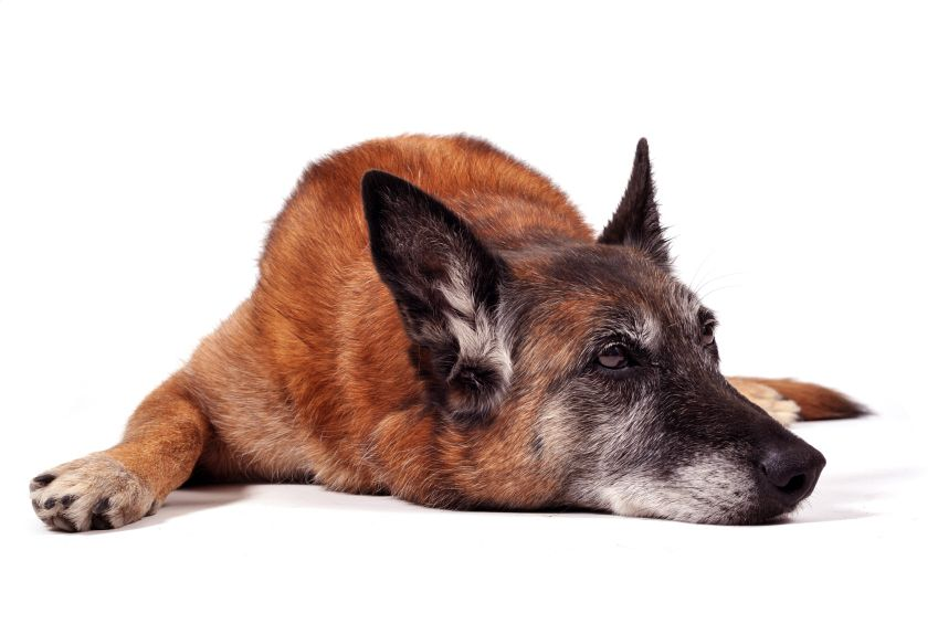 62 Percentage Of 11 To 16 Year Old Dogs Shown To Have At Least One Type Of Canine Cognitive Dysfunction Blind Dog Dogs Old Dogs