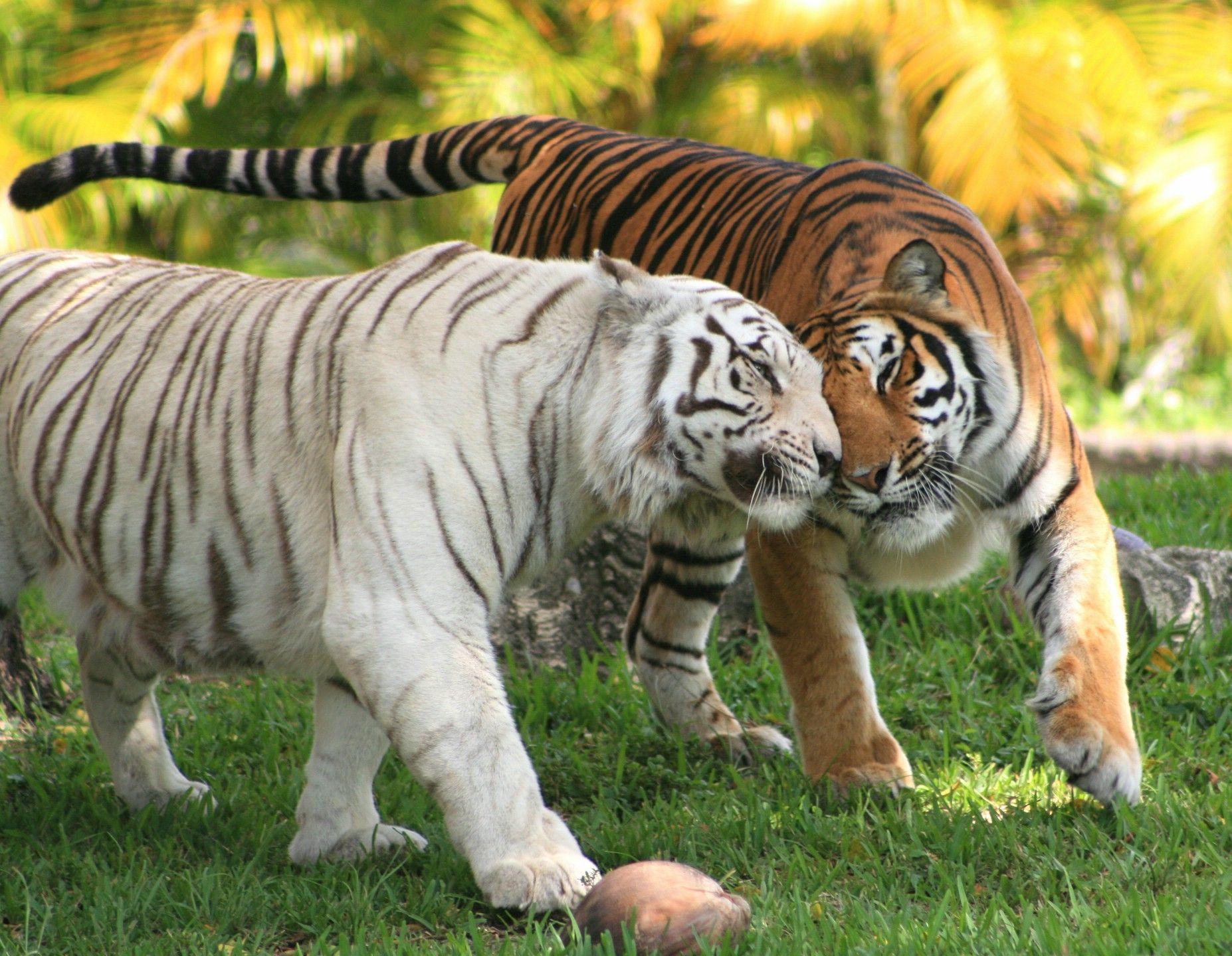 Tigre et tigre blanc les chats de loulou et lana - Images tigres gratuites ...