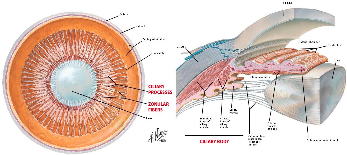 Ciliary