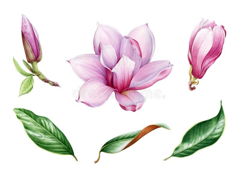 Pink Magnolia Flower And Leaf Watercolor Set Hand Drawn Close Up Collection Of Spring Blossom And Leaves Magnol In 2020 Flower Drawing Magnolia Flower Magnolia Trees