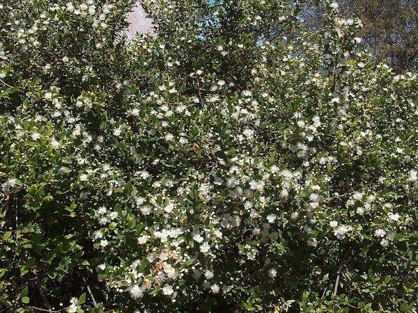 Le myrte est un arbuste originaire du pourtour du bassin for Myrte arbuste