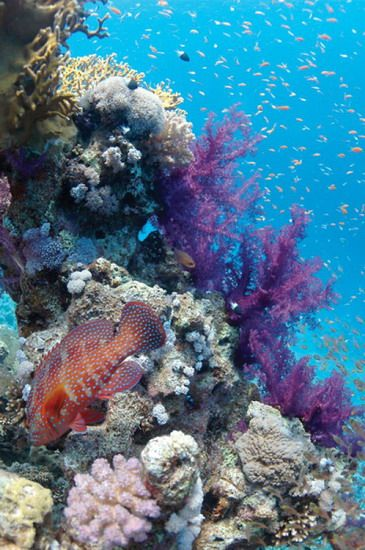 """""""The general impression of hours and days spent on the bottom of the sea is its fairytale unreality. It is an Alice`s Wonderland, where our terrestrial experiences and terms are set at nought.""""~William Beebe, picture: Red Sea Coral Reef"""