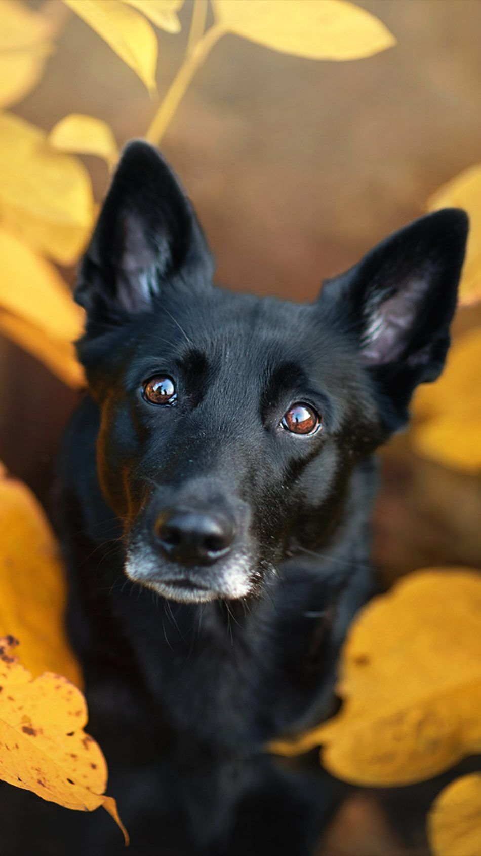 Black Pet Dog Leaves Fall Pet Dogs Dog Wallpaper Dogs