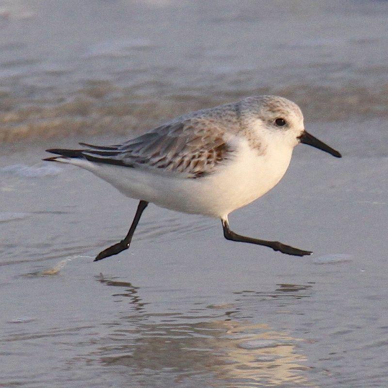 sandpiper running on sea shore | Coastal birds, Birds painting ...