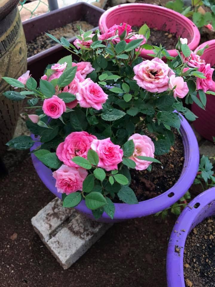 Tanam Pokok Bunga Ros Nak Bagi Rajin Berbunga Wanita Ni Kongsikan Cara Perlu Buat Keluarga Bunga Menanam Bunga Tanaman