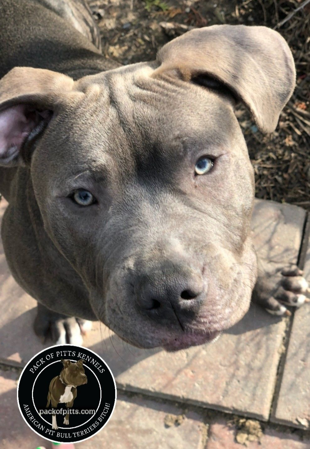 Pack's Diesel, Detroit Michigan. Pack Of Pitts Kennels