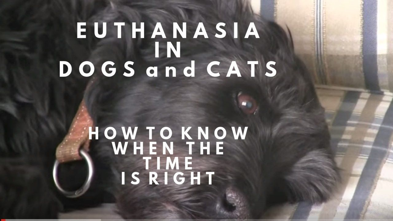 Euthanasia in dogs and cats how to know when dog cat