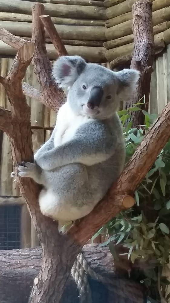 Koala at Dallas Zoo - Dallas, TX | Photo by Kylaine K  | Dallas Zoo