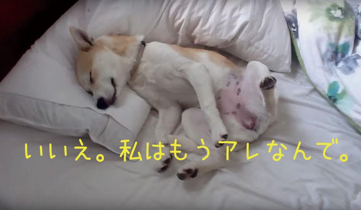 動物病院行きを拒否するために死んだふりをする柴犬失敗に終わる 柴犬 動物 イヌ