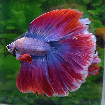 Pink Purple Blue Male Full Moon Betta Doubletail Live Aquarium Fish Betta Fish Betta