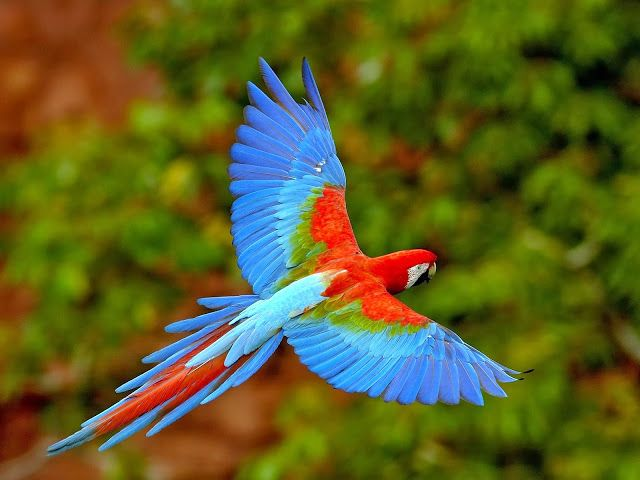 BEAUTIFUL PARROT FLYING
