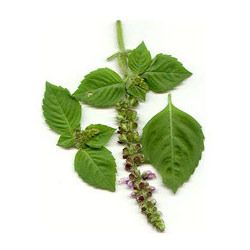Bulk Agro is a leading manufacturer and exporter of Holy Basil. You Can buy sample for Holy Basil. exporter of holy basil, Holy Basil Online