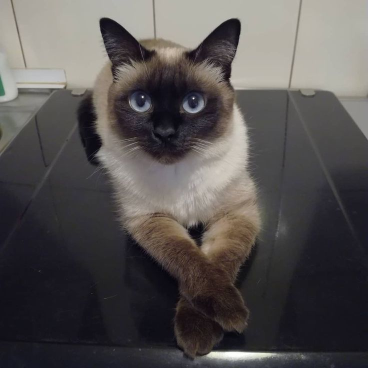 Great Pic Siamese Cats Sealpoint Tips Siamese Kitties Would Be Better Recognized For Their Streamlined Streamlined Figures S Siamese Cats Cat Shots Cat Pose