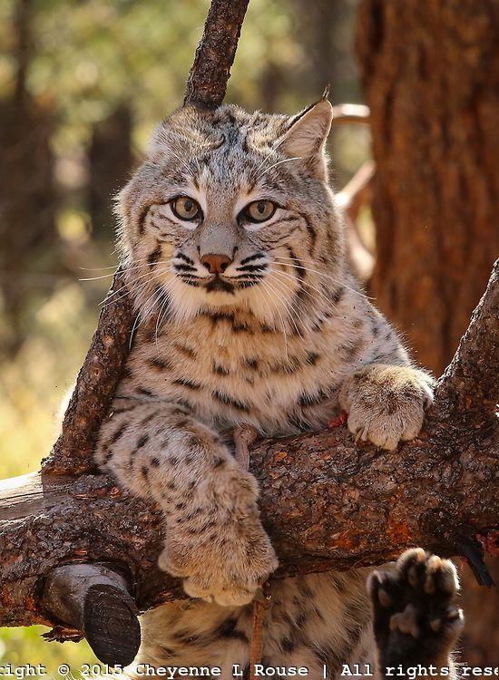 Bobcat in Arizona.